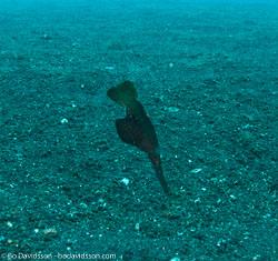 BD-090926-Lembeh-9264055-Solenostomus-cyanopterus.-Bleeker.-1854-[Ghost-pipefish].jpg